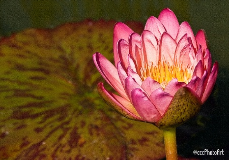 Pink Passion Waterlily