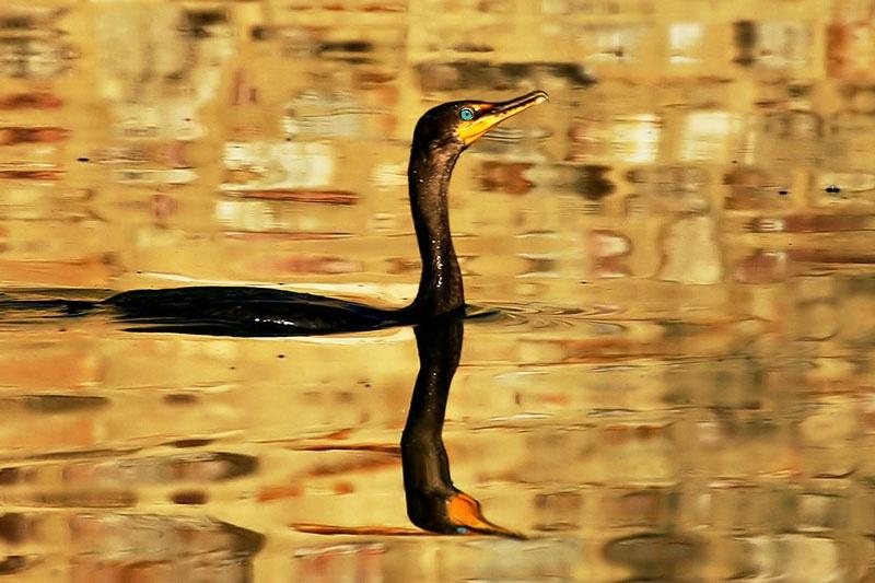 Golden Cormorant