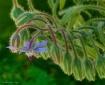 Borage Blossom