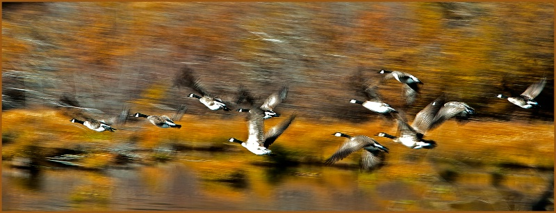 Goose on the Go - ID: 12382694 © Kelly Pape