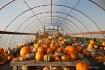 Pumpkin greenhous...