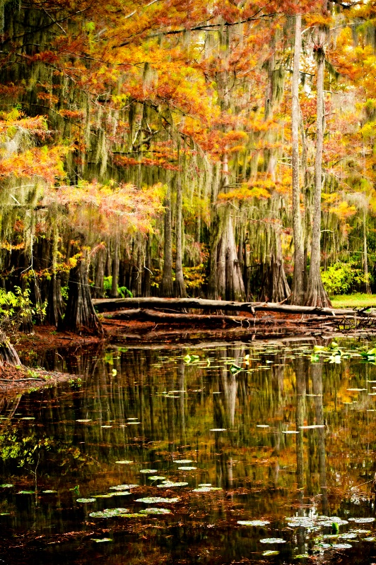 Cypress Trees in Lake Caddo