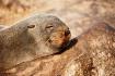 Cape Cross seal c...