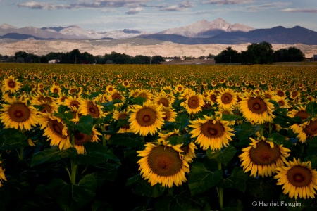 Sunflowers And The Rockies
