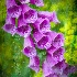 2Purple Bells - ID: 12444795 © Richard M. Waas