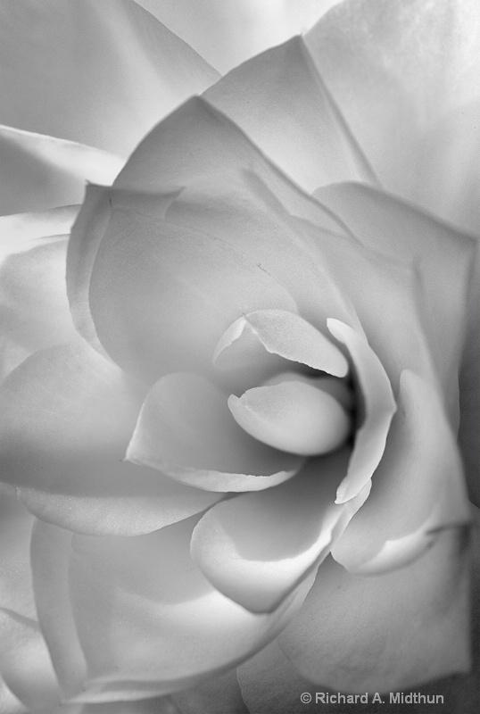 Morning Camellia Blossom