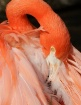 Flamingo Feather ...