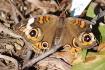 Butterfly on mulc...