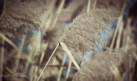 Whispering Grasses