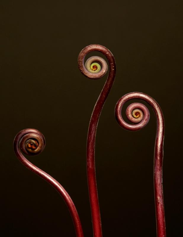 Three Fiddlehead Ferns - ID: 12470287 © Laurie H. Jacobs