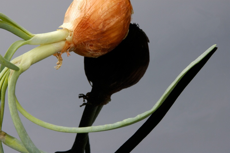 Onion #1 - ID: 12470516 © Laurie H. Jacobs