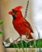 Cardinal at the b...