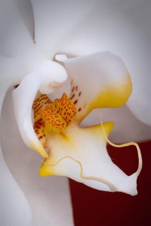Phalaenopsis Sogo White