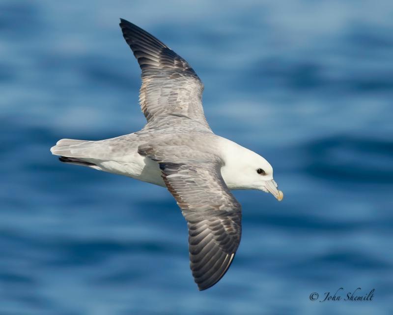 Northern Fulmar - Nov 6th, 2011 - ID: 12480987 © John Shemilt