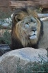 Male African Lion...