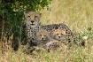Cheetah and Cubs ...
