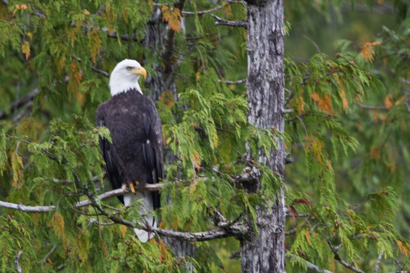 Bald Eagle - ID: 12496753 © Walter B. Biddle