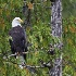2Bald Eagle - ID: 12496753 © Walter B. Biddle