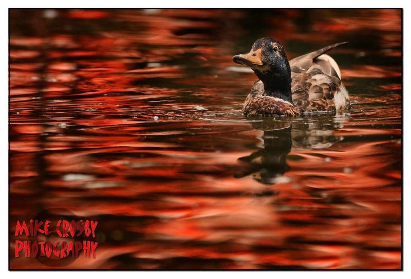 Mallard in Crimson Water ...