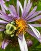 Sleeping Bee on W...