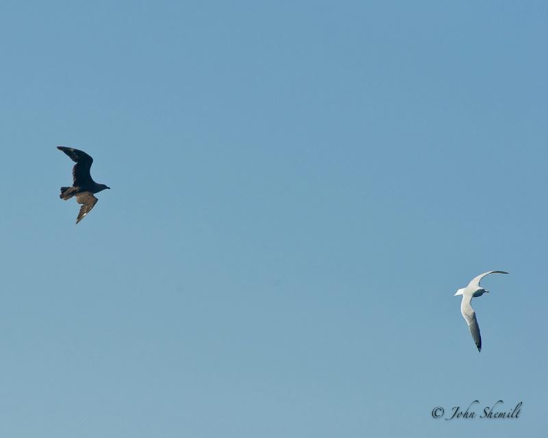 Skua chasing Herring Gull_2 - Nov 6th, 2011 - ID: 12506154 © John Shemilt
