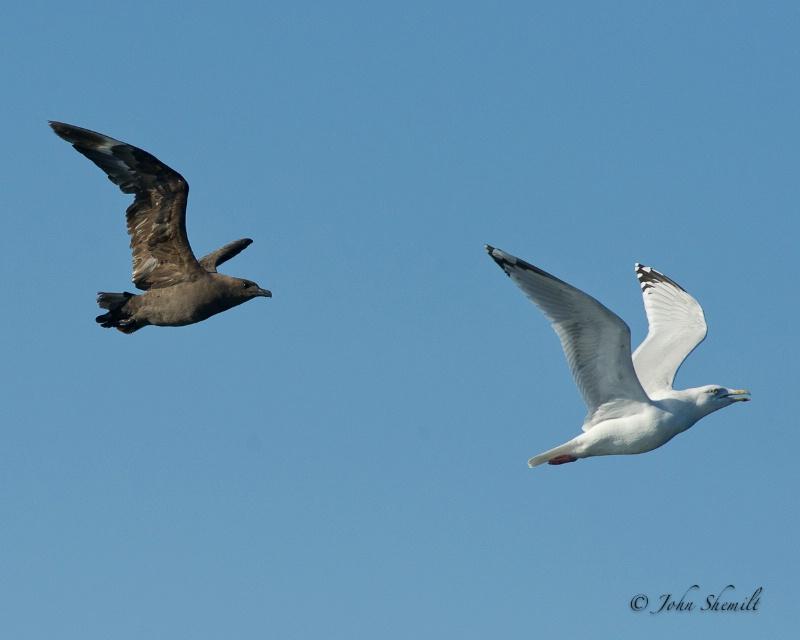 Skua chasing Herring Gull_13 - Nov 6th, 2011 - ID: 12507417 © John Shemilt