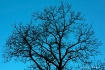 Tree Top in Blue ...