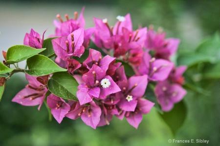 Fushia blooms
