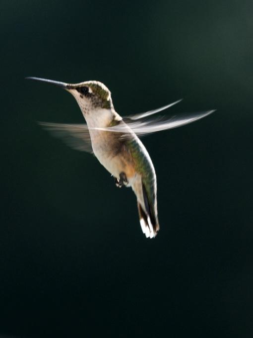 Hummingbird - ID: 12517287 © GARY  L. ROHRBAUGH