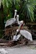 Pelicans family p...