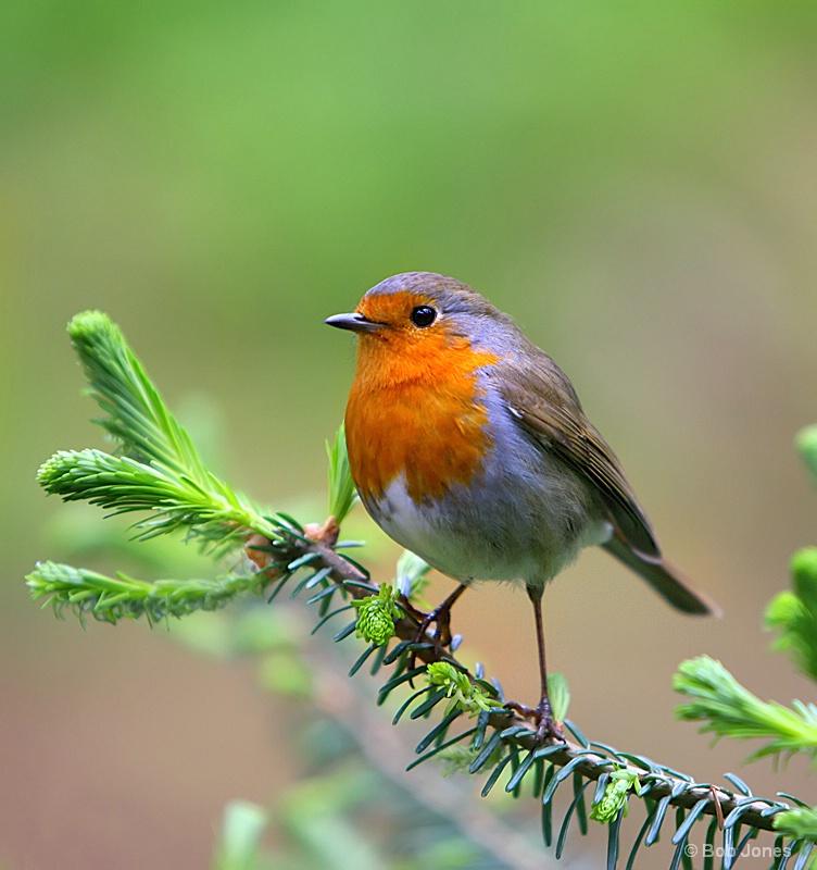A Christmas Card Robin