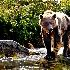 © Bob l. Peterson PhotoID # 12546385: Mama grizzly looks for food