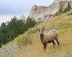 Badlands Bighorn ...