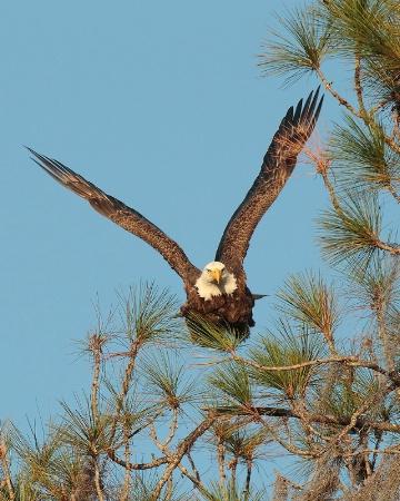 Bald Eagle Take off