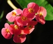 Crown of Thorns 2...