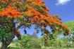 Casuarina tree