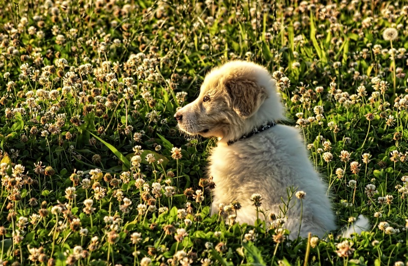rover in the clover