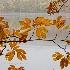 © Karol Grace PhotoID# 12617273: Sassafras Leaves