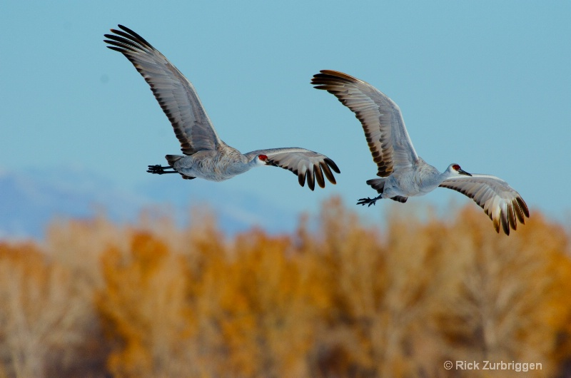 Sand Hill Cranes - ID: 12622043 © Rick Zurbriggen