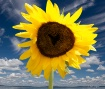 Sunflower Love (e...
