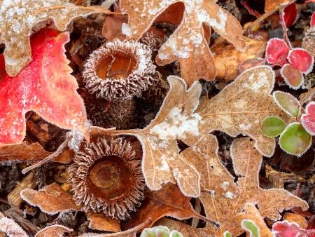 Frosty Acorns