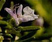 rosemarie flower