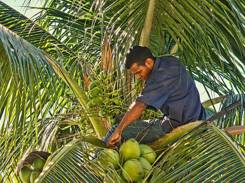 Harvesting Green Coconuts