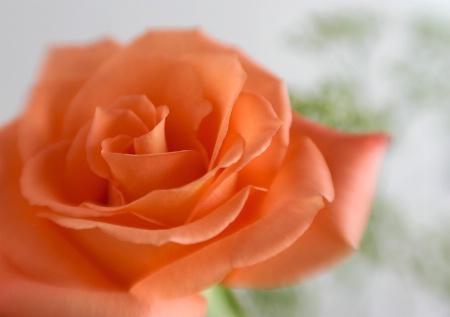 My anniversary rose