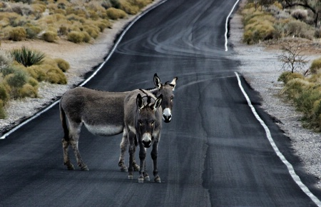 Why did the burro cross the road....