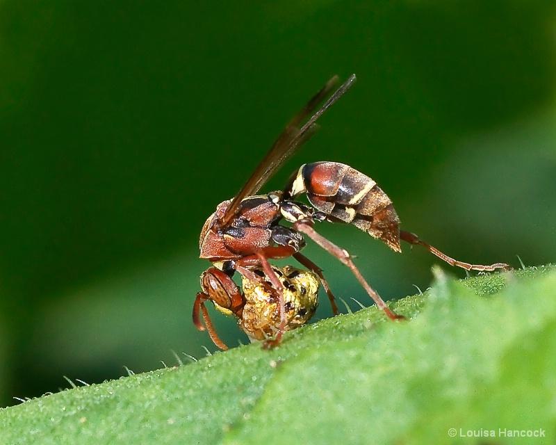 Wasp Eating Bug