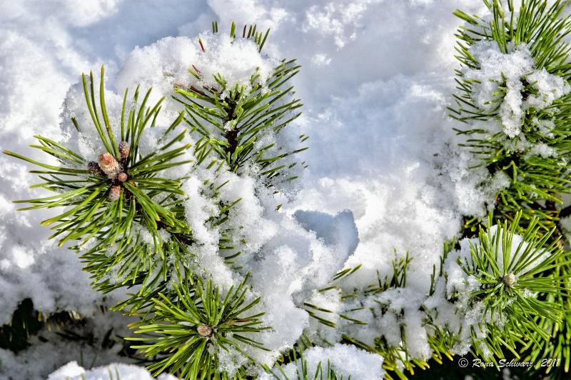 Fresh Snow for Christmas