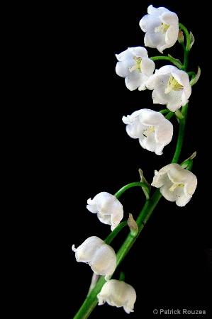 Little Lillies