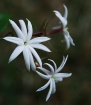 Angel Wing Jasmin...