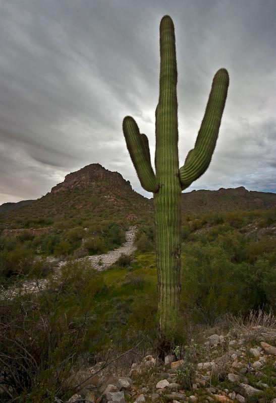 Saguaro - ID: 12650017 © Patricia A. Casey